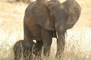 An African elephant female cares for her youngster for years.