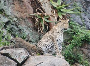 Leopard with its young.