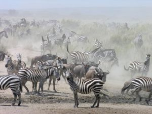 The zebra and wildebeest migration in the Serengeti is amazing.