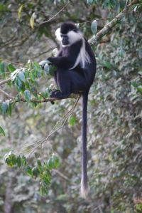 Angolan Colobus monkeys live in large family groups in this tropical rainforest.