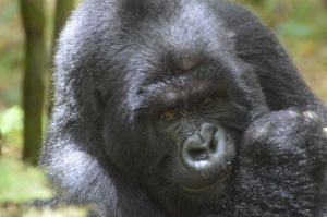 Mountain gorillas are the attraction in Volcanoes National Park in northern Rwanda.