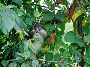 This single Mona monkey travels with 45 Angolan Colobus as an accepted companion.