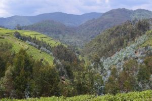 Nyungwe National Park in the distance is surrounded by tea fields and eucalyptus groves that support local cultural communities.