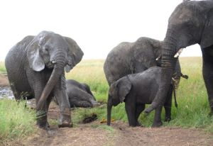 Elephants protected in wildlife reserves are poached for their ivory by men with automatic weapons.