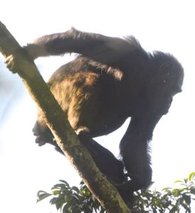 Chimp tracking in Nyungwe is a rewarding hike in rainforest.