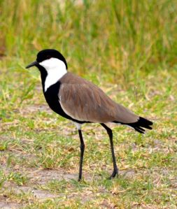 Blacksmith plovers are common in the wetlands area at Akagera.