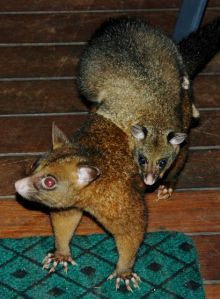 Brush-tailed possums were welcome visitors at our Canopy Treehouse in Queensland.
