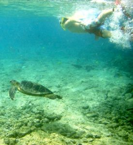 Kahaluu Bay is a great place to see Green Sea Turtles while snorkeling, but respect is essential to their health and survival.
