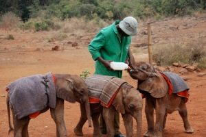 Sheldrick Wild Animal Trust allows daily visits to the orphaned elephants, a chance to tell the story of poaching and habitat destruction.