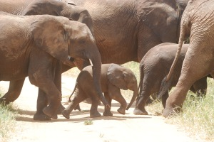 Females have tusks so they are at risk with poachers. The little ones will only survive if their mothers do also.