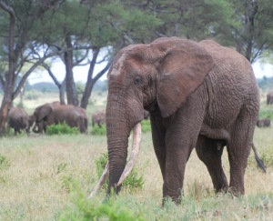 """An old bull is nicknamed a """"tusker."""" This identity reminds us that their tusks are so valuable that these mature animals are especially at risk."""