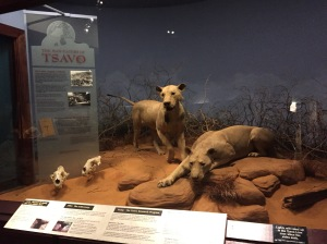 Lions of Tsavo exhibit in Chicago, IL, at the Museum of Natural History.
