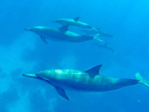 Spinner dolphins out swim us with little effort. When they come close, you feel privileged to get a good look. They are amazing.